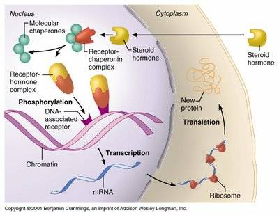 Cell signaling steroid molecules and nitric oxide are examples of signaling molecules which can bind to internal receptors they participate in intracellular signaling ccuart Image collections