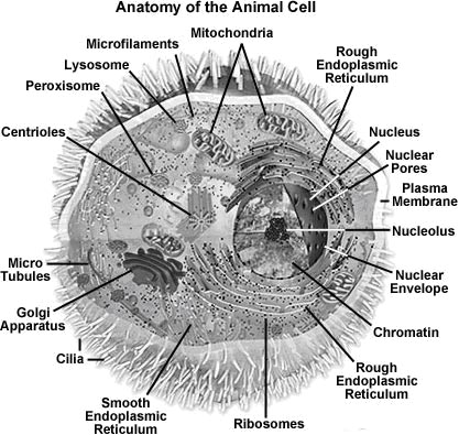 animal cell and its functions. The Animal Cell And Its Functions. animal cell undergoing mitosis