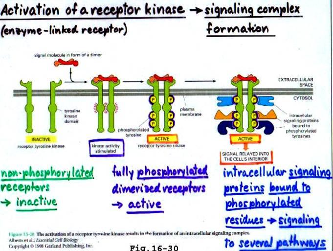 RECEPTOR TYROSINE KINASES  RTK Tyrosine Kinase Structure