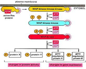 THE MAP KINASE PATHWAY Map Kinase on jak-stat signaling pathway, mapk/erk pathway, cyclic adenosine monophosphate, tgf beta signaling pathway, signal transduction, protein kinase, notch signaling pathway, receptor tyrosine kinase, wnt signaling pathway, cyclin-dependent kinase, pi3k/akt/mtor pathway, protein kinase c, adenylate cyclase, c-jun n-terminal kinases,