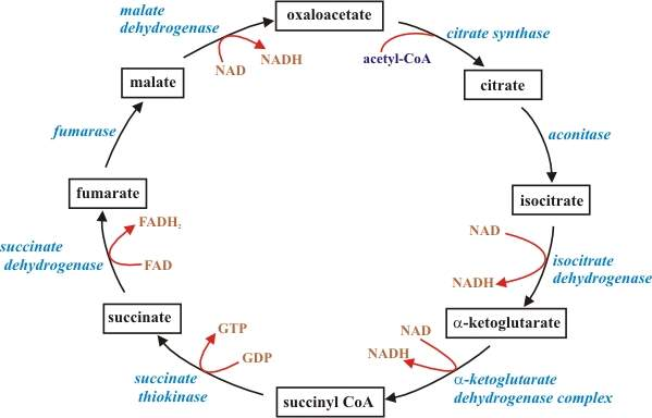 Citric Acid Cycle Structures The Citric Acid Cycle is an